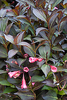 Weigela florida Dark Horse in bloom