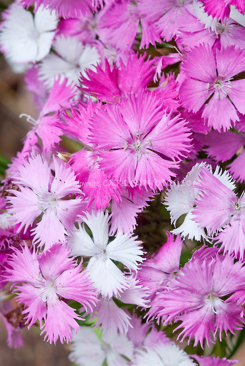 Dianthus First Love, changes color from pink to white all at once on same plant, Cheddar Pinks