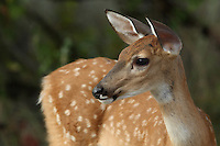 Whitetail fawn in Summer.