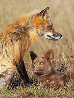 It was nice to get back and photograph the San Juan foxes again after a two year absence.