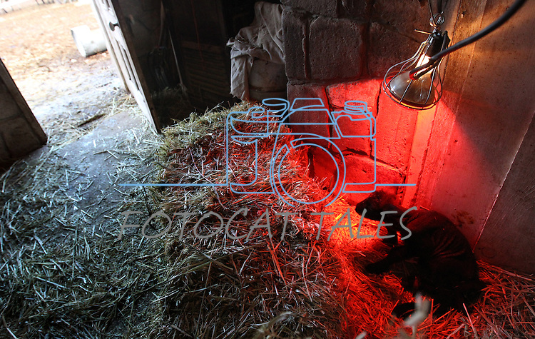 A 4-day-old bummer lamb lays under a heat lamp Thursday, Jan. 13, 2011 at the Hussman Ranch in Gardnerville, Nev. The bummer, one of triples born to a mother without enough milk, will be bottle-fed for months. Four generations of Hussmans have raised sheep at the Carson Valley ranch dating back to the 1860s. .Photo by Cathleen Allison