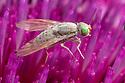 Thistle Gall Fly {Terellia serratulae} feeding on a thistle. Nordtirol, Tirol, Austrian Alps, Austria. August.