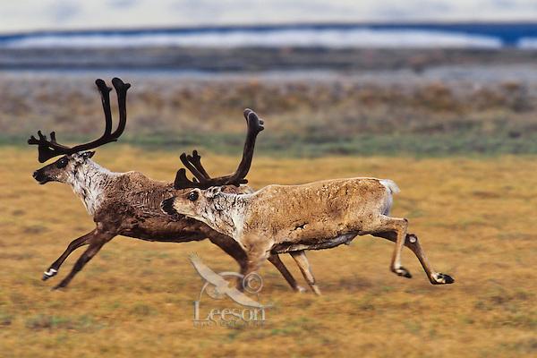 Barren ground caribou on arctic coastal plain, Northern Alaska, Summer.