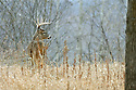 00274-304.08 White-tailed Deer Buck with large antlers is on ridge during fall rut.  Hunt, bottleneck, meadow.