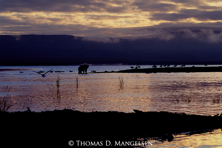 A brown bear forages on a point of Naknek Lake in Katmai National Park, Alaska.