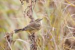 Pam warbler in autumn