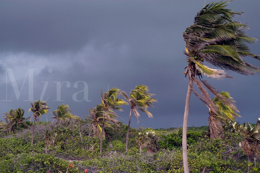 The approach of Hurricane Dennis with blowing palm trees on Cayman Brac, Cayman Island