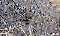 1217-0901  Northern Mockingbird Perched on Icy Branch During Winter Ice Storm, Mimus polyglottos  © David Kuhn/Dwight Kuhn Photography