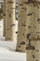 Winter Aspen Texture - Arizona<br /> (vertical)
