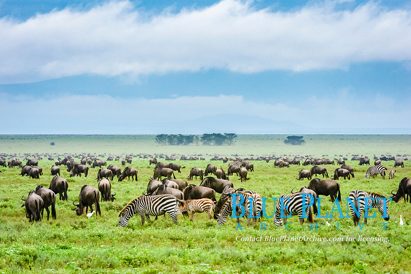 wildebeests (Connochaetes taurinus) and plains zebras (Equus quagga) grazing, Ndutu, Ngorongoro Conservation Area, Serengeti, Tanzania, Africa