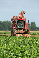 15-10-2021 Contractors lifting sugar beet in Langtoft Fen<br />  ©Tim Scrivener Photographer 07850 303986<br />      ....Covering Agriculture In The UK....