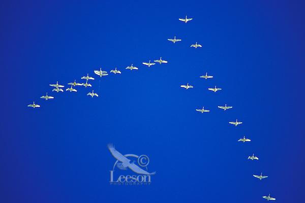 Trumpeter Swans migrating.  Western U.S.  November.