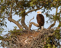 Bald Eagle returns to the previous year's nest with all its old turtle shells.October 15, 2004
