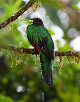 Female crested quetzal with frog