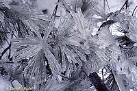 1I02-006a  Ice storm, winter, ice covered pine needles