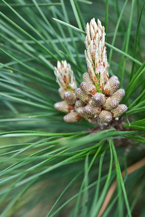Flowers of Monterey pine (Pinus radiata), early April.