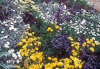 Black purple foliage of Aeonium against silver of Convolvulus cneorum, Chysanthemum yellow, Osteospermum, Heuchera purple leaves, mixture of plants ing arden bed