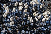 Tidepool mussels, Mytilus californianus, and gooseneck barnacles, Pollicipes polymerus, Shi Shi beach, Olympic National Park, Olympic Peninsula, Washington, USA, Pacific Ocean