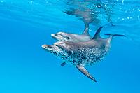 Atlantic spotted dolphin, Stenella frontalis, Bahamas, Caribbean Sea, Atlantic Ocean