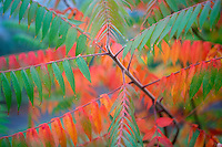 Hoyt Arboritum with fall colored sumac (Rhus x pulvinata). Washington Park. Portland. Oregon
