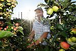Foto: VidiPhoto<br /> <br /> RESSEN – Personeel van fruitbedrijf De Woerdt in Ressen bij Nijmegen plukt dinsdagmorgen in alle vroegte enkele kisten met delbare estival. De zomerappel is razend populair bij consumenten, vertelt eigenaar Wessel van Olst. De Woerdt oogst de komende weken iedere dag de hoeveelheid appels die nodig is voor de eigen landwinkel, voor de Landwinkel Coöperatie en Oregional. Die laatste organisatie levert streekproducten van agrariërs uit de regio Arnhem, Nijmegen, Achterhoek en De Liemers, aan horeca en gezondheidsinstellingen in hetzelfde gebied. Volgens Van Olst is de omzet van zijn landwinkel enorm toegenomen de laatste maanden omdat klanten uit angst voor coronabesmetting liever hun boodschappen doen in kleinere winkels.