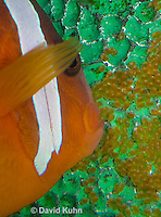 0322-1111  Tomato Clownfish Tending Eggs, Amphiprion frenatus  © David Kuhn/Dwight Kuhn Photography