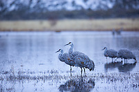 Sandhill Cranes at Roost on an icy morning in Bosque Del Apache, New Mexico