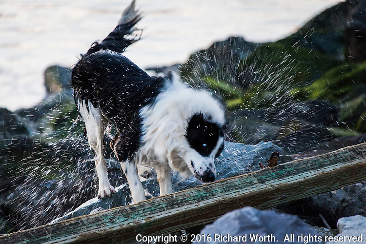 After playing in the water at the San Leandro Marina Park, a dog stops on the rocky shore to shake water from its fur.