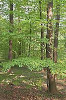 Buchenwald, Hochwald aus Rotbuche, Rot-Buche, Buche, Fagus sylvatica, Common Beech, Europaen Beech, Fayard, Hêtre commun