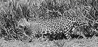 This female jaguar put on a nice show for us on our first day, hunting along the river in late afternoon light.<br /> <br /> This image is also available in color.