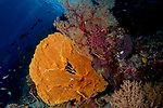 Orange sea fan and red yellow gorgonian with dendronepthya soft corals