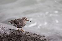 Meerstrandläufer, Meer-Strandläufer, Calidris maritima, purple sandpiper, Le Bécasseau violet