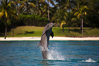 Beautiful common bottlenose dolphin walking on water, with white sand and palm trees in the background on Paradise Island, near Nassau, Bahamas