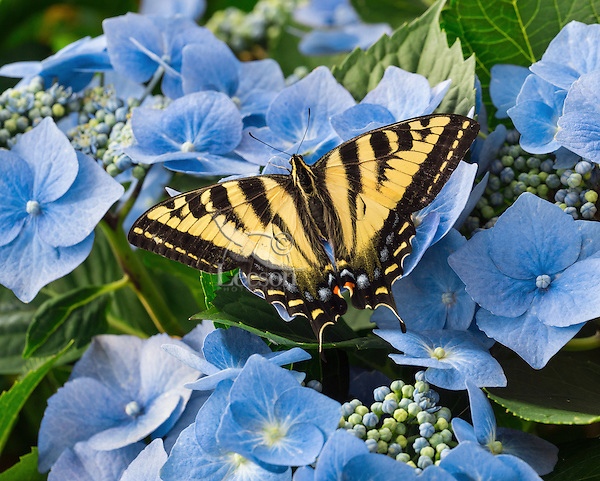 Western Tiger Swallowtail Butterfly (Papilio rutulus) on hydrangea blossoms in backyard.  Pacific Northwest.  Summer.