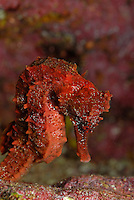 Red Pacific seahorse (Hippocampus ingens), close-up, , underwater view,, Ecuador, Galapagos Archipelago,