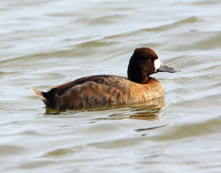 Female lesser scaup in breeding plumage