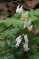 Dutchman's Breeches (Dicentra cucullaria) and Squirrel-corn (Dicentra canadensis). These two closely related wildflower species, which favor a similar habitat and can sometimes be found growing side by side, are commonly confused with each other. The flowers of Dutchman's Breeches (top) resemble upside down pants once worn by Dutchmen, while the flower of Squirrel-corn are more rounded and heart-shaped. Both are native to eastern North America. Franklin County, Ohio, USA.
