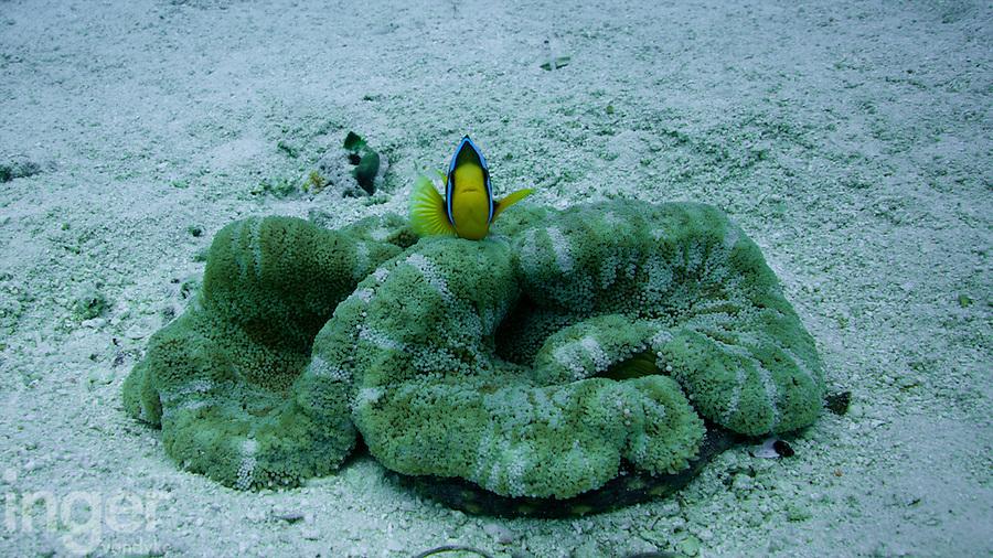 Clownfish on anemone in Tonga