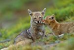 Argentine grey fox (Pseudalopex griseus), Torres del Paine National Park, Chile<br /> Canon EOS-3<br /> Canon EF 70-200mm lens<br /> December 1998