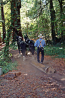 Two draft horses are hitched up and dragging a redwood log downhill to a saw mill in Occidental California.
