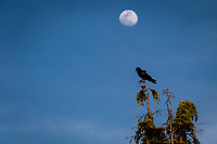 A waxing gibbous moon looks down on a crow as it briefly stops atop a tree at the San Leandro Marina.