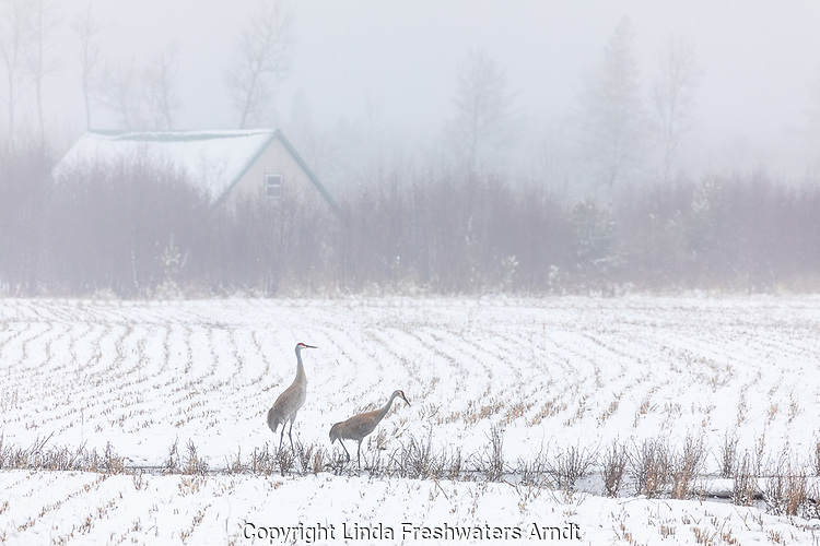 Pair of sandhill cranes feeding in a foggy snow-covered farmer's field.