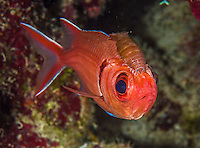 13 June 2014: A Blackbar Soldierfish (Myripristis jacobus) is seen with a isopod parasite on its head at Schoolhouse Reef, on the North Shore of Grand Cayman Island. Located in the British West Indies in the Caribbean, the Cayman Islands are renowned for excellent scuba diving, snorkeling, beaches and banking.  Mandatory Credit: Ed Wolfstein Photo *** RAW (NEF) Image File Available ***