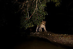 African Leopard (Panthera pardus) male crossing log bridge over river at night, Lope National Park, Gabon