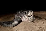 Leatherback turtle Warmamedi, Jamursbamedi, Bird's Head Peninsula, West Papua Indonesia