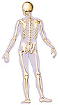 see-thru illustration of skeleton, bones, human skeletal system