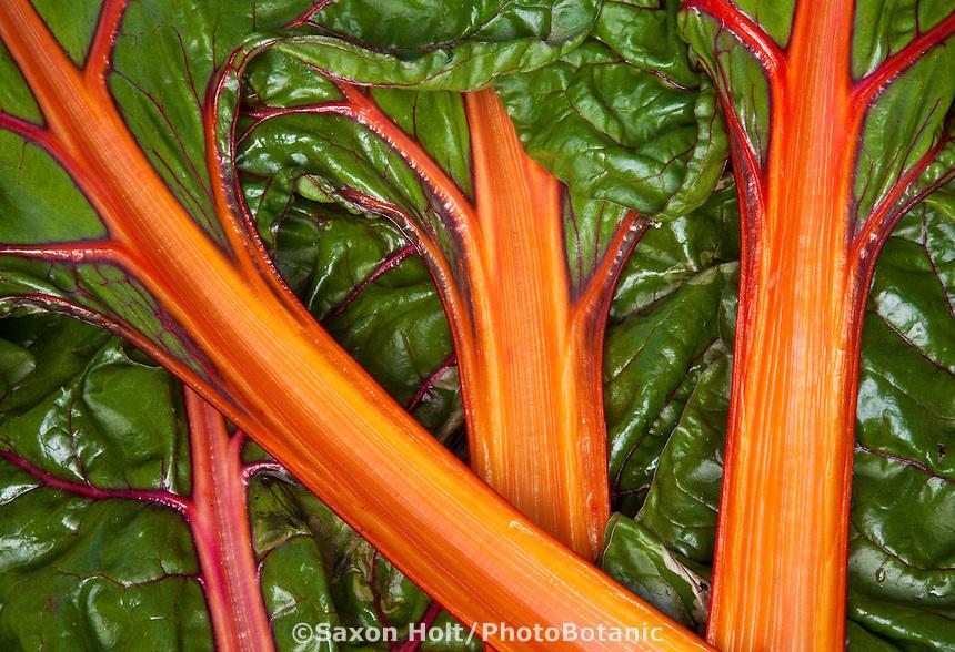 Orange stalks of swiss chard 'Bright Lights'