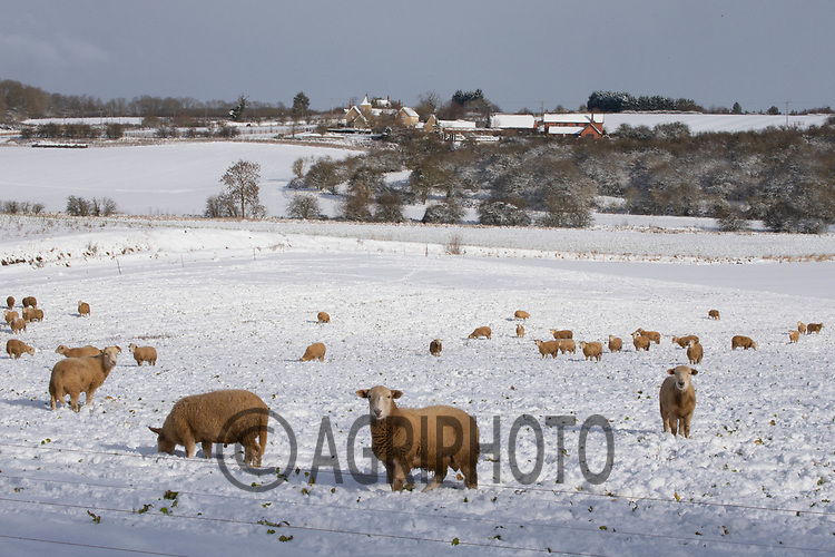9-2-2021 Store lambs in the snow in Lincolnshire <br /> ©Tim Scrivener Photographer 07850 303986<br />      ....Covering Agriculture In The UK....<br /> <br /> Winter, Weather, Sheep, Landscape