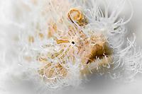 Dreamy Hairy Frogfish (Antennarius striatus) Lembeh Strait