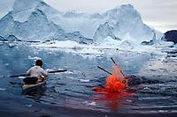 Inuit hunter lances a harpooned Narwhal, Monodon monoceros, to kill it Northwest Greenland, Arctic